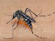Aedes aegypty